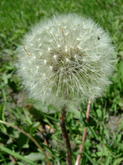 Perfect dandelion puffball
