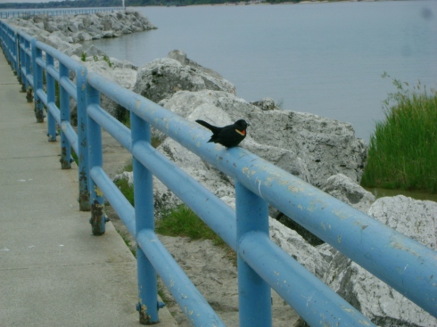 Rather tame Red-wing blackbird along the pier