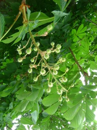 Where chestnuts will ripen later this summer