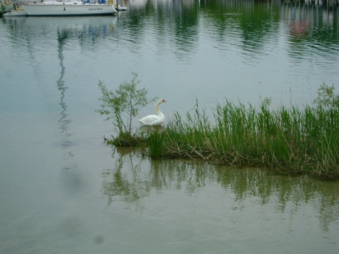 Swan in the Lexington Marina