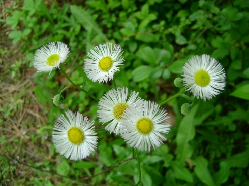 Daiy fleabane, aren't they cute?