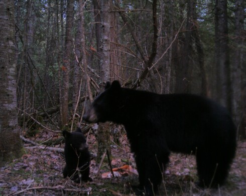 Bear with cub from remote view game camera