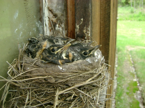 Baby robins almost grown up