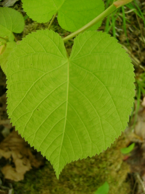 Close up leaf near forest floor