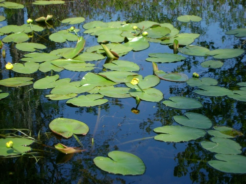 Lily pads and flowers on pond