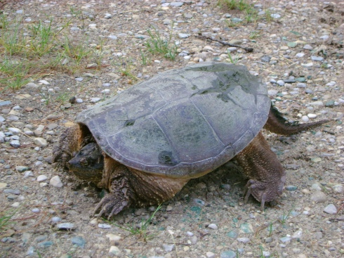 Another snapping turtle (Second spotting this year)