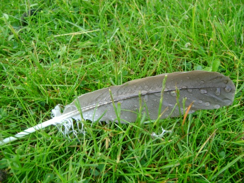 Dewy goose feather in the grass