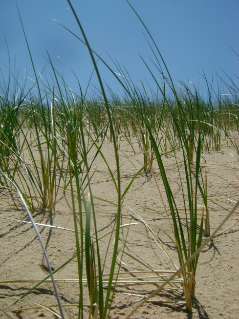 Beach grasses in the sand