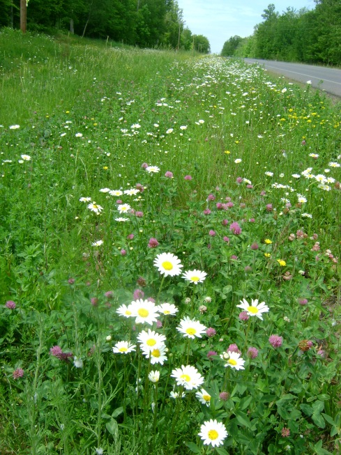 The sides of the roads sprinkled with daisies and clovers and buttercups