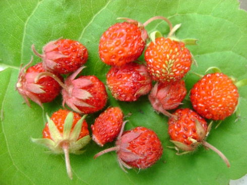 Wild strawberries on a leaf