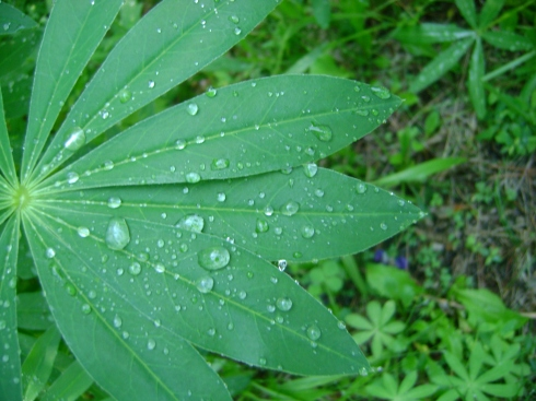 Raindrops on lupine leaf