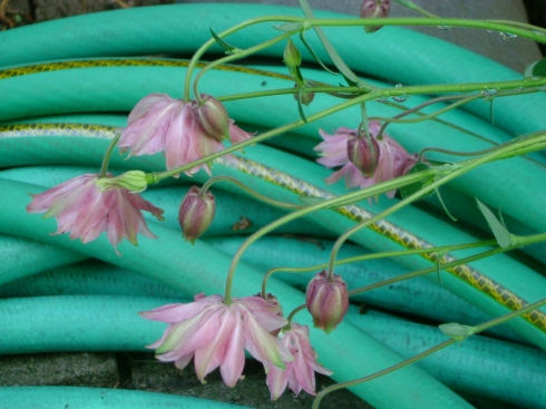 Perennials drooped over the hose (sorry, don't remember their name)