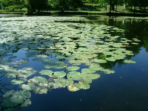 Swirl of lily pads on pond