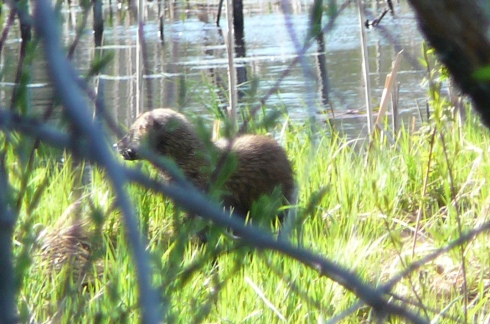 Fisher (all photos today by Pam Boppel-Nankervis, KBIC Wildlife Biologist)