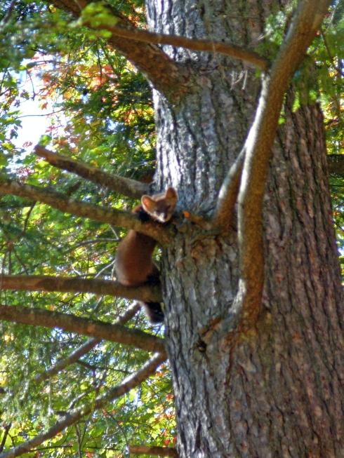 Pine marten up a tree