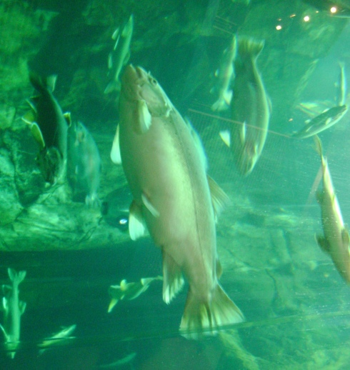 Underwater in the aquarium world.  Perhaps a salmon in the forefront.
