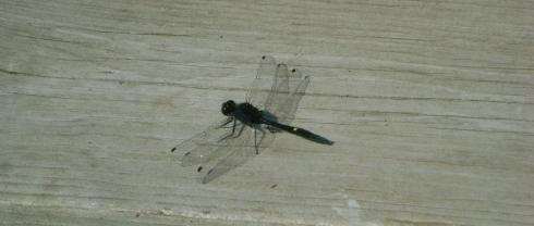 Basking dragonfly