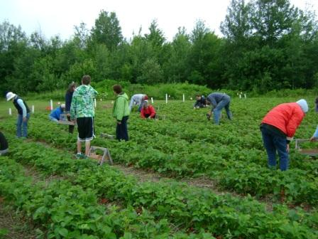 Strawberry pickers in the field before 8 a.m.