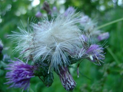 Burst open thistle blossom