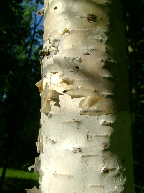 The skin of the birch