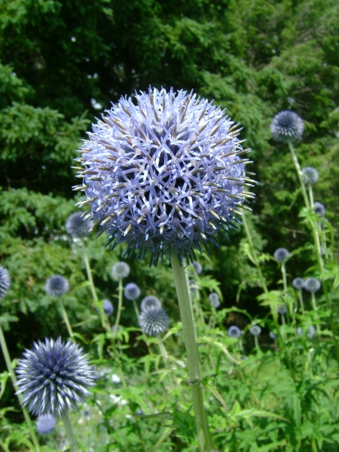 Ornamental globe thistle