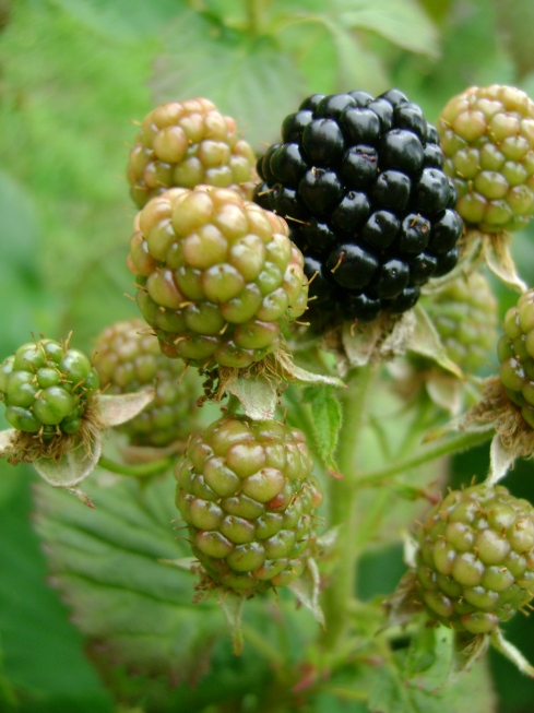 The first ripe blackberry (or black raspberry) spotted anywhere around here