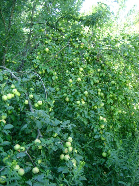 Swath of green apples covers the branches