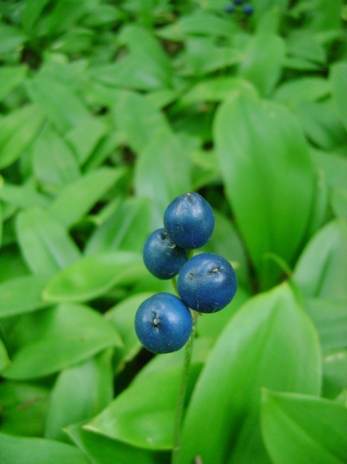 Clintonia, or blue bead lilies