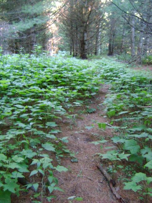 Hidden deer path