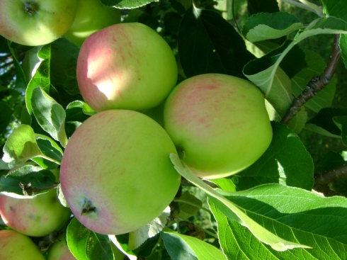 Apples ripening