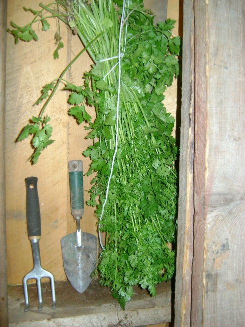 In the far corners of the shed...the cilantro dries
