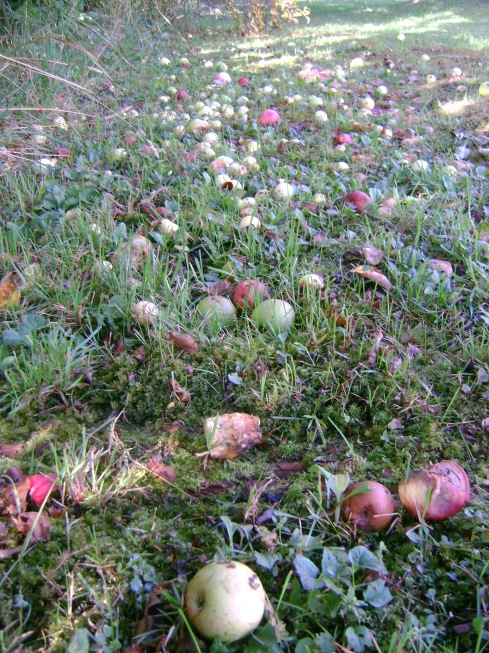 Fallen apples asleep in the sunlight under autumn apple trees