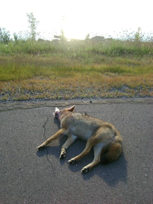 Dead coyote