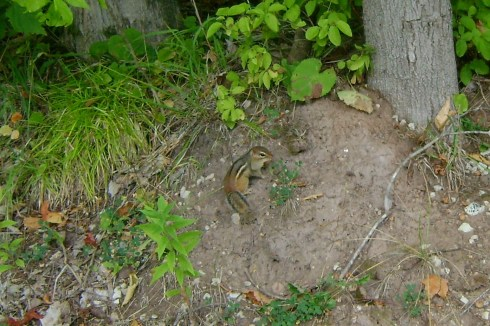 A chipmunk with a full acorn squirreled away in his jaws