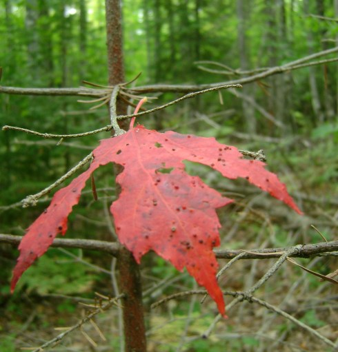 Red leaf stretches out its fingers to us