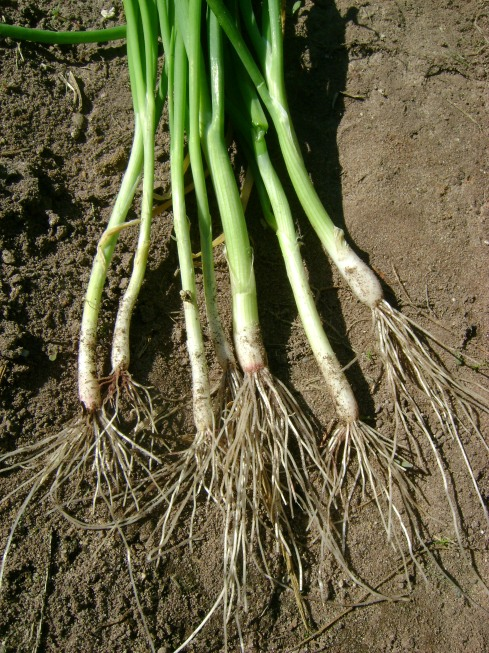 Gangly green onions