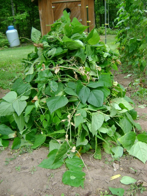 Huge pile of bean leaves and roots and stems