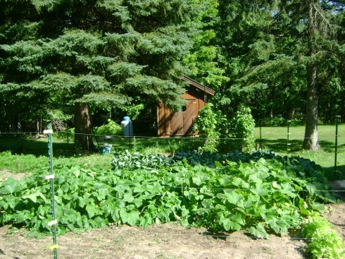 A sideways view of our squash and beans and lots of other veggies