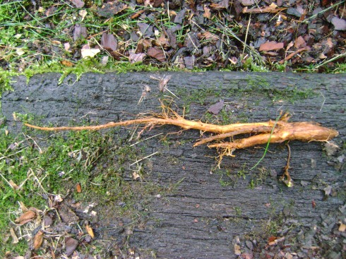 One slender bleeding heart root