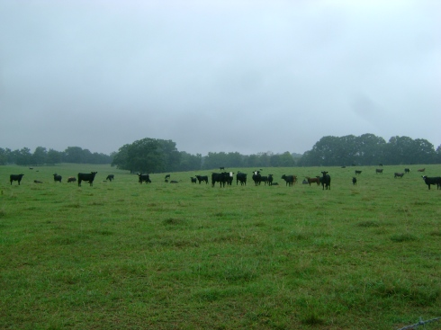 Cows turn to stare at a safe distance