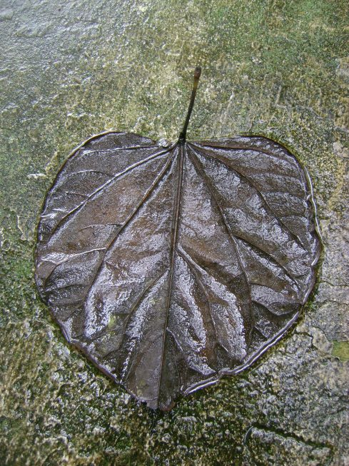 Black rain-soaked leaf