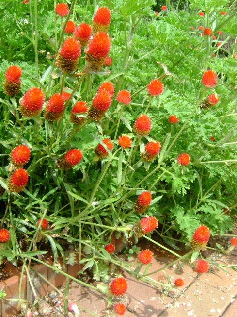Family of red flowers
