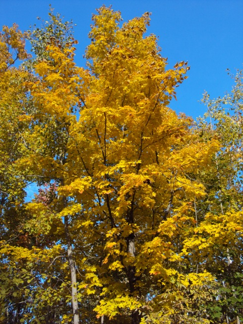 Yellow leaves and bright blue sky