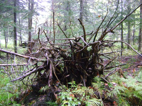 Fallen tree ~ roots exposed