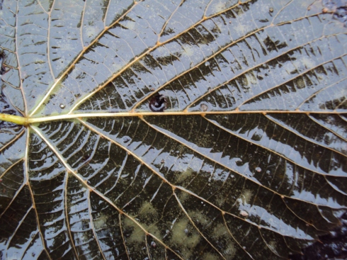 Initimacy with rain-soaked black leaf