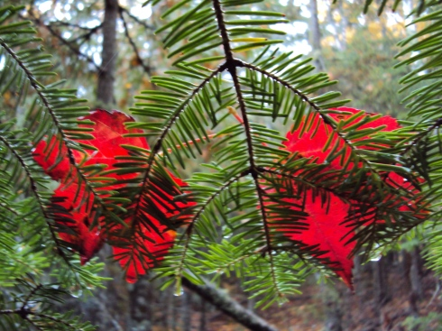 Red leaves atop spruce branch