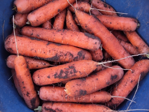 One bucketful of the best carrots of this century