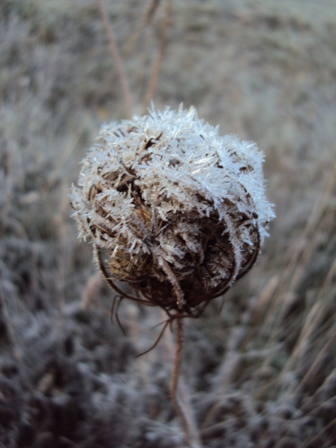 The frost lingered to kiss the tender folded autumn flower