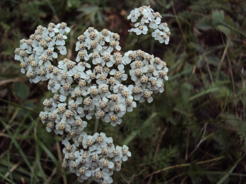 Bouquet of autumn yarrow