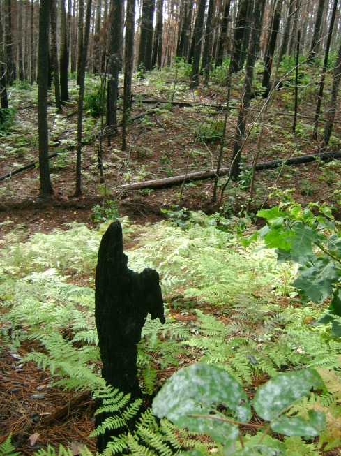 Black trees, black stumps and green ferns